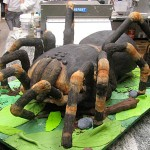 Tort pająk (źródło: tlc.howstuffworks.com)
